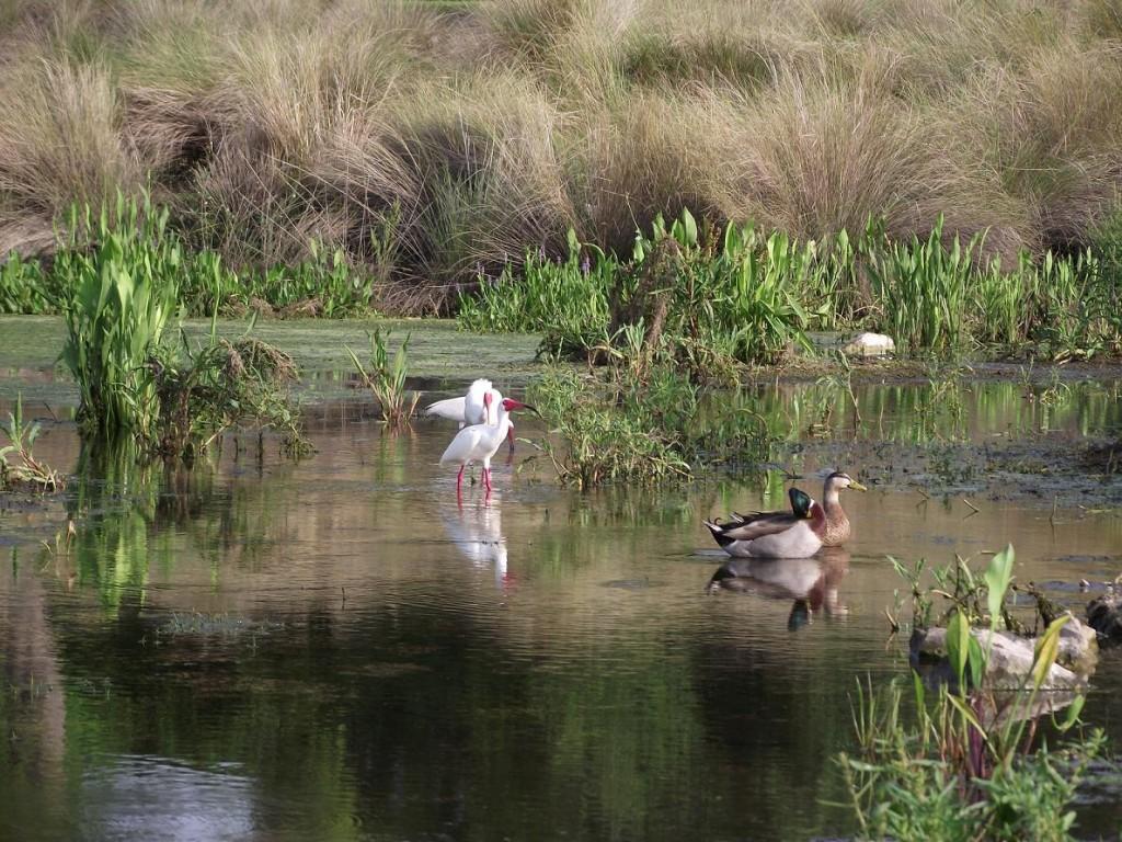 Kapok Park Extension - Water Birds