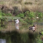 Kapok Park Extension - Water Birds