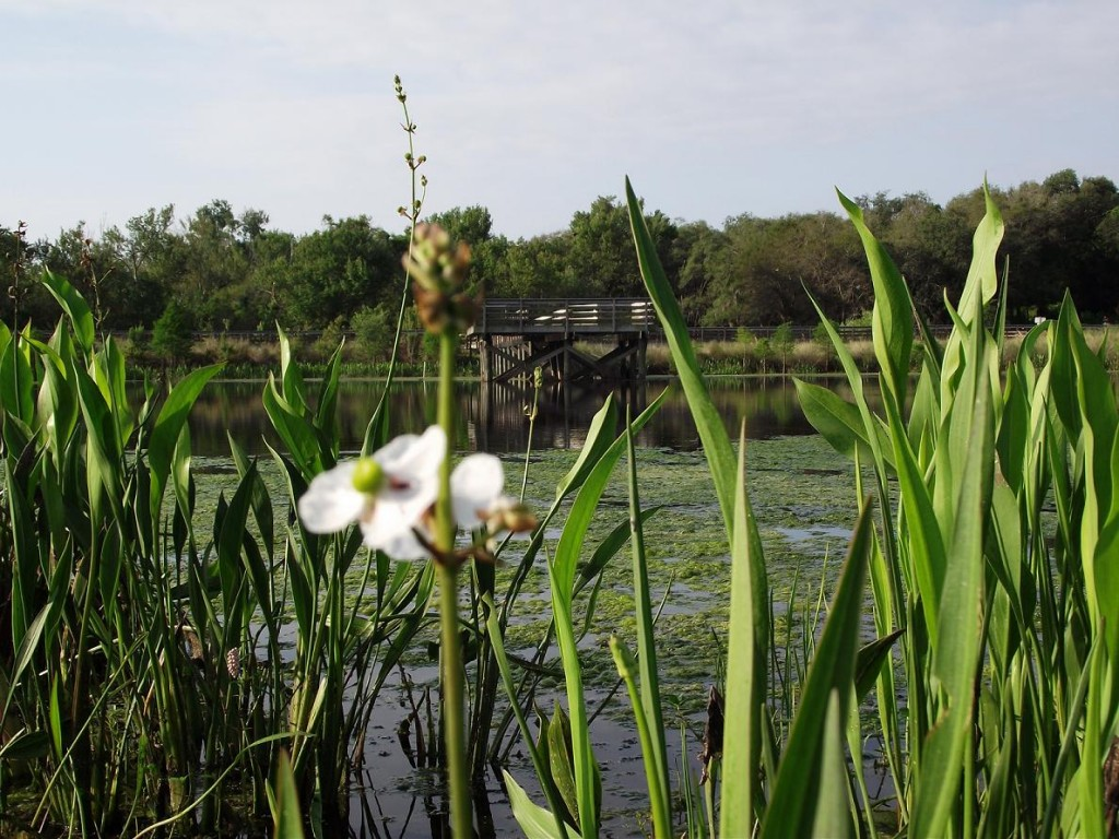 Kapok Park Extension - Hyacinths