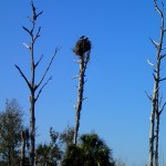 Eagles Nest in Clam Bayou