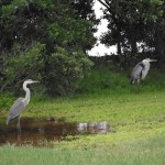 Skyway Trail - Herons