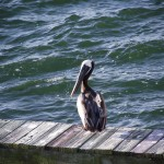 Skyway Trail - Pelican