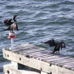 Skyway Trail - Cormorants