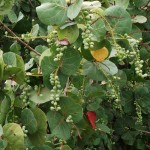 Skyway Trail - Sea Grapes