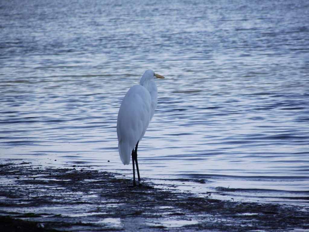Skyway Trail - Snowy Egret