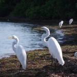 Skyway Trail - Snowy Egrets