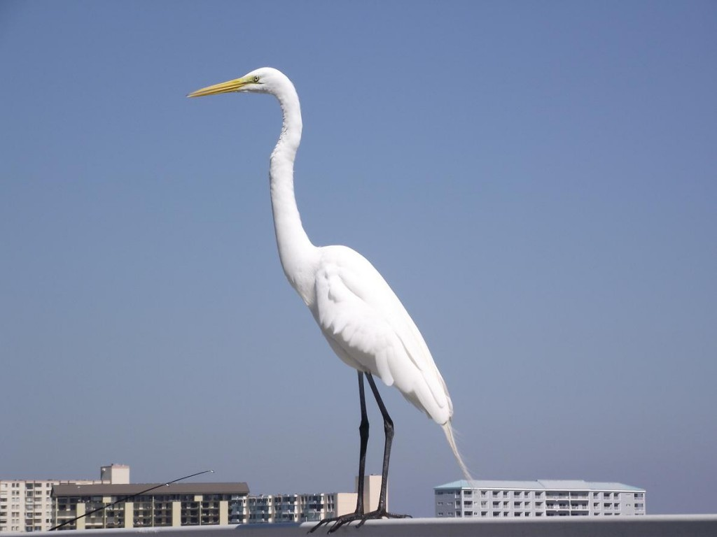 Clearwater Beach - Snowy Egret