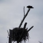 Boca Grande Bike Path - Osprey Nest