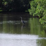 Venetian Waterway Park - Wading Bird