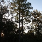 North Bay Trail - Weedon Island Slash Pine