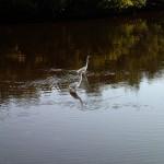 North Bay Trail - Weedon Island Wading Birds