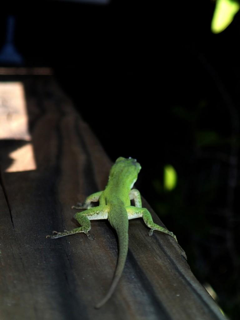 North Bay Trail - Weedon Island Green Lizard