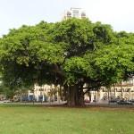 North Bay Trail - Banyan Tree