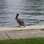 North Bay Trail - Pelican