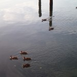 North Bay Trail - Ducks