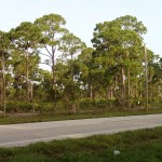 Pine Island Pine Trees
