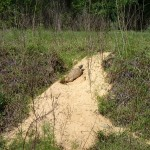 Withlacoochee State Trail - Gopher Tortoise
