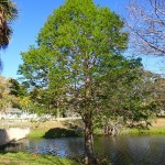 Skyway Trail Extension - Cypress Tree