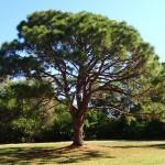 Maximo Park - Pine Tree