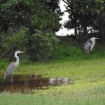 Skyway Trail - Herons