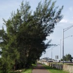 Skyway Trail - Australian Pines
