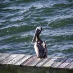 Skyway Trail - Pelican