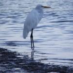 Skyway Trail - Snowy Egret