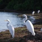 Skyway Trail - Snowy Egrets