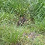 Rabbit feeding along Progress Energy Trail