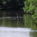 Venetian Waterway Park - Wading Bird