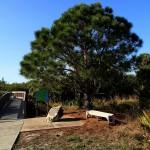 North Bay Trail - Weedon Island Pine Tree & Boardwalk