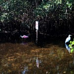 North Bay Trail - Weedon Island Roseatte Spoonbill