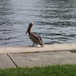North Bay Trail - Pelican