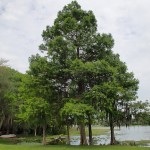 Withlacoochee State Trail - Wallace Brooks Park Cypress Trees