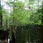 Withlacoochee State Trail - Cypress Trees